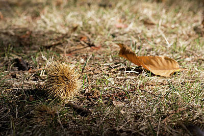 Photograph - Fallen Chestnut by Helga Novelli
