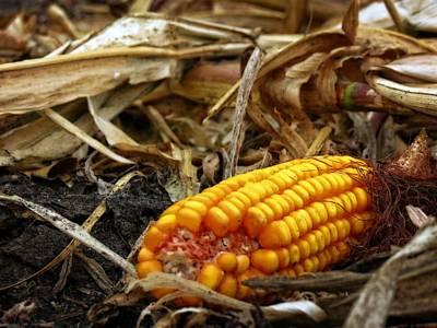 Photograph - Fallen Corn by Kyle West