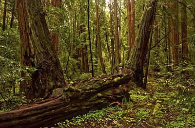 Photograph - Fallen Giant, Muir Woods by Josephine Buschman