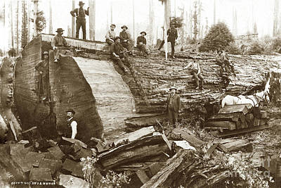 Photograph -  Fallen Giant Redwood Tree Loggers With Felled Redwood Circa 1900 by California Views Archives Mr Pat Hathaway Archives
