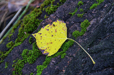 Photograph - Fallen Leaf by Juli Ellen