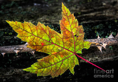 Photograph - Fallen Leaf by Michael Arend
