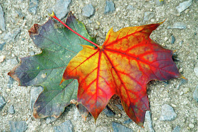 Photograph - Fallen Leaves by Cate Franklyn