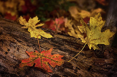 Photograph - Fallen Maple Leaves  by Saija Lehtonen
