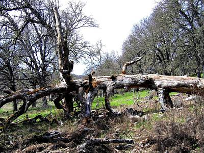 Photograph - Fallen Mighty Oak by Will Borden
