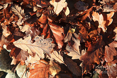 Photograph - Fallen Oak Leaves by Bryan Attewell