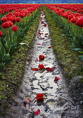 Photograph - Fallen Petals Among The Red Tulips by Maria Janicki