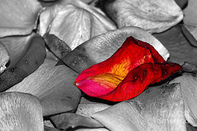 Photograph - Fallen Rose Petals By Kaye Menner by Kaye Menner