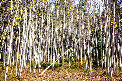 Photograph - Falling Aspen by Marilyn Hunt