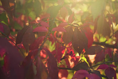 Photograph - Falling Light Through The Leaves by Susan Stone