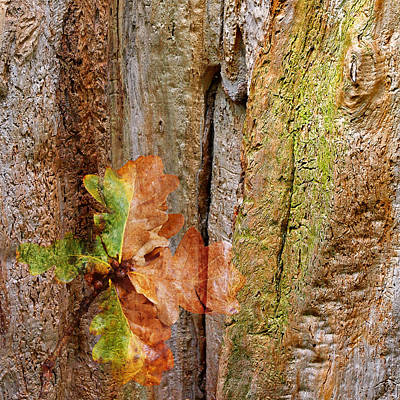 Photograph - Falling Oak Leaves Square by Gill Billington