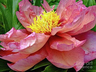 Pop Art - Falling Petals - Itoh Peony by Cindy Treger