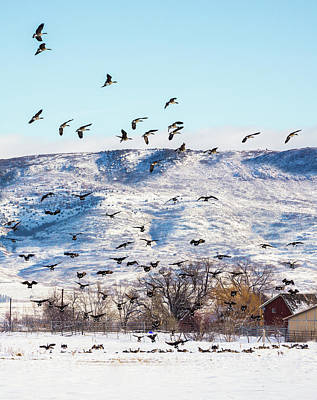 Red Barn In Winter Photograph - Falling Skies - Canada Geese by TL Mair