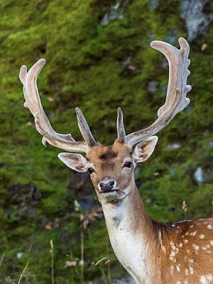 Photograph - Fallow Deer Buck A Closeup by Torbjorn Swenelius