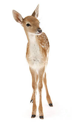 Photograph - Fallow Deer Fawn Portrait by Warren Photographic