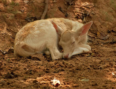 Photograph - Fallow Deer Fawn Sleeping by Chris Flees