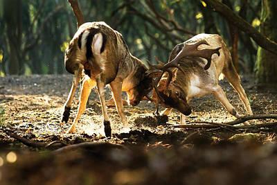 Fallow Deer Fight Art Print