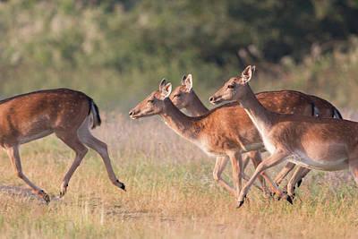 Photograph - Fallow Deer by Roger Lighterness
