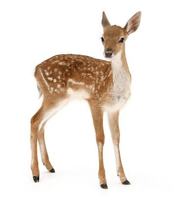 Photograph - Fallow Deer Standing by Warren Photographic