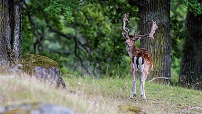 Photograph - Fallow Deer by Torbjorn Swenelius