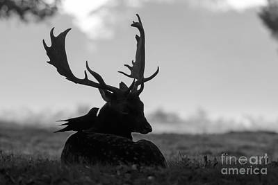 Fallow Deer With Friend - Black And White Art Print