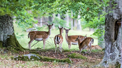 Photograph - Fallow Deers by Torbjorn Swenelius