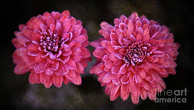 Photograph - Fall's Frosty Mums by Elizabeth Winter