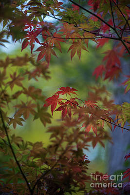 Photograph - Falls Red Maples Focus by Mike Reid