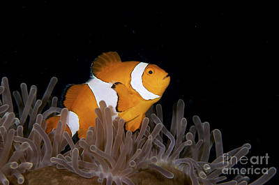 Amphiprion Ocellaris Photograph - False Clownfish And Anemone by Steve Rosenberg - Printscapes