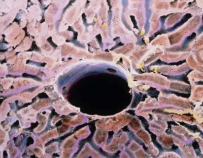 False-colour Sem Of A Lobule Of The Liver Art Print by Prof. P. Mottadept. Of Anatomyuniversity \la Sapienza\, Rome