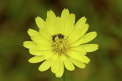 Photograph - False Dandelion And Pollinator by Paul Rebmann