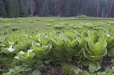 False Hellebore Veratrum Viride Plants Art Print