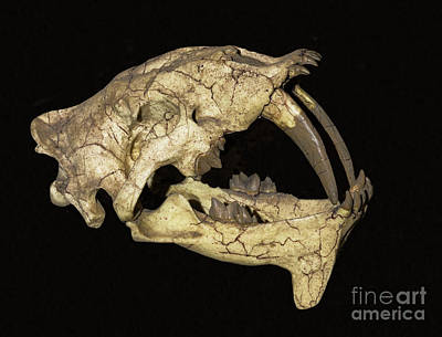 Photograph - False Saber-tooth Cat by Millard Sharp