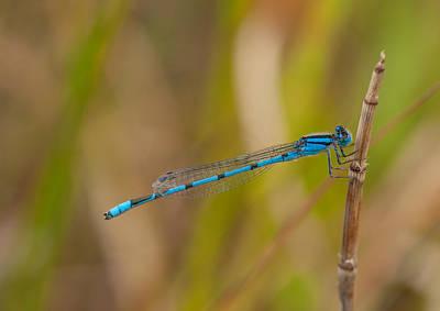 Tiny Bluet Photograph - Familiar Bluet by Gerald DeBoer