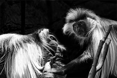 Photograph - Family - Black And White Colobus Monkeys by Jason Politte