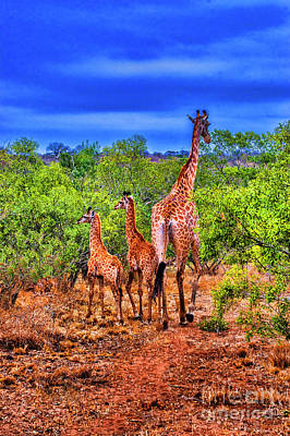 Photograph - Family Giraffe by Rick Bragan