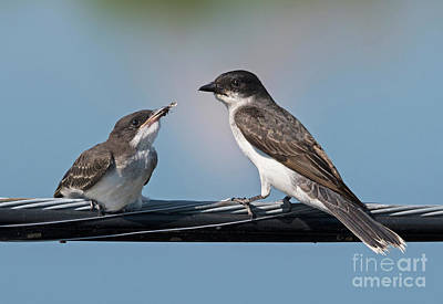 Kingbird Photograph - Family Life by Nina Stavlund