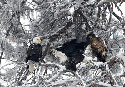 Eagle Photograph - Family Meeting by Mike Dawson
