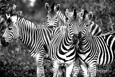 Photograph - Family Of A Wild African Zebras by Anna Om