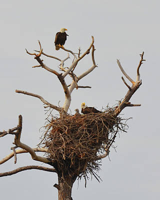 Photograph - Family Of American Bald Eagles by Carla Parris