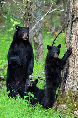 Photograph - Family Of Black Bears by Dan Friend