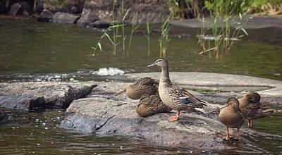 Photograph - Family Of Ducks by Garvin Hunter