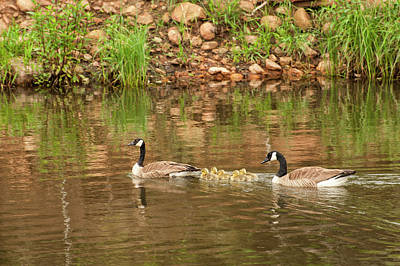 Photograph - Family Of Geese by Katherine Worley