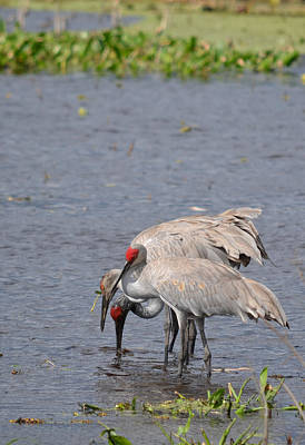 Photograph - Family Of Sandhill Cranes - Payne's Prairie by rd Erickson