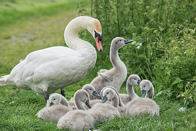 Photograph - Family Of Swans  by Cliff Norton