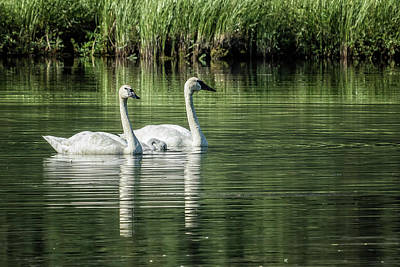 Photograph - Family Of Swans, No. 1 by Belinda Greb
