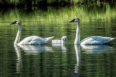 Photograph - Family Of Swans, No. 2 by Belinda Greb