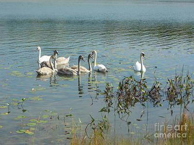Family Of Swans Art Print