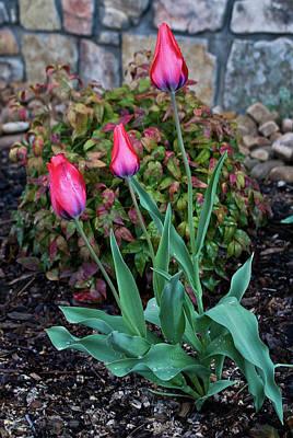 Homesickness Photograph - Family Of Tulips by Douglas Barnett