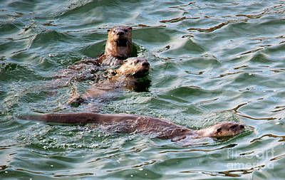 Otter Photograph - Family Play Time by Mike Dawson